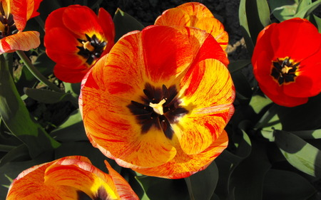 Tulip - flower, spring, widescreen, wide, color, tulip