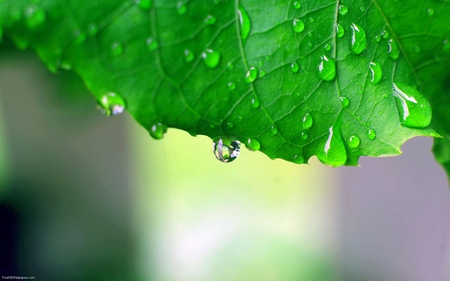 Fresh Raindrops ! - leaf, green, raindrops, fresh