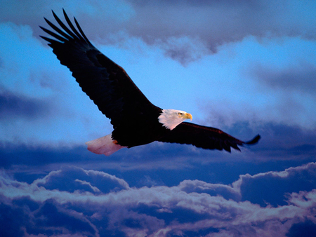 Eagle flying over the cloud - hunter, freedom, eagle, clouds, fly, patriotic, usa, flying