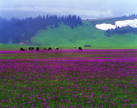 Lavender Countryside - mountains, lavender, countryside, grazing cattle