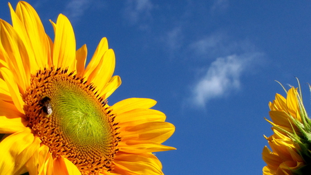 Sunflower - summer, bluesky, yellow, harvest