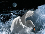 Swan Wave Splashing