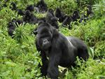 Gorillas Volcanoes National Park Rwanda