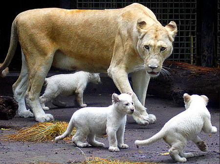White trio - female, cubs, white, lioness, mother, play, trio