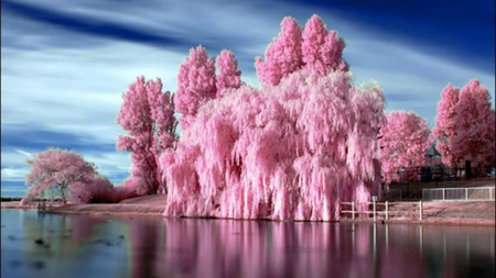 BUBBLE GUM BLOOMS - lake, trees, other, pink, nature