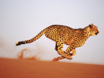 Gaining-Speed-Cheetah-Namibia