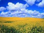 Yellow fields of rape