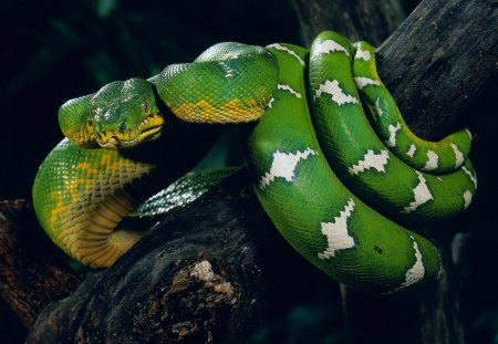snake - snake, green, tree, animal