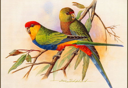 RED CAPPED PARROT'S - pair, male, red cap, female