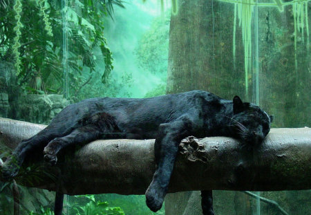 Black jaguar - penther, wild life, jaguar, black