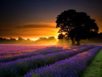 Sunset and lavender