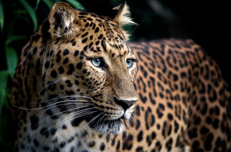 Prowess - leopard, sleek, beautiful, powerful