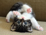 Flexible persian kitten