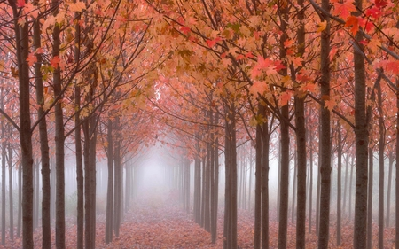 Tall trees forest - stream, autumn, forest, fog, tall, trees