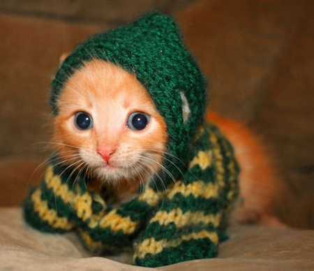 Cat in Sweater - cute, animals, sweater, cats