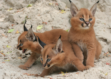 Sweet Kitten - animals, kitten, cats, cat, sweet, kitty, animal, caracal