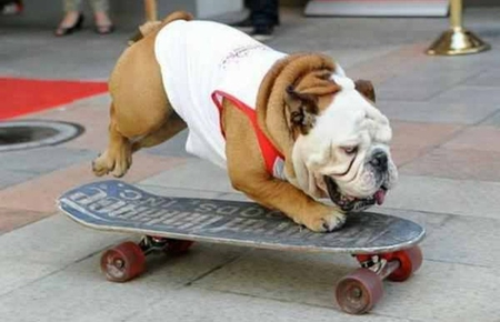 SKATEBOARDING BULL DOG - dog, funny, cool, cute, skateboarding, animal, pet, bull dog