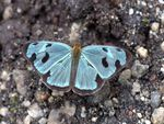 Blue Butterfly of Guatemala