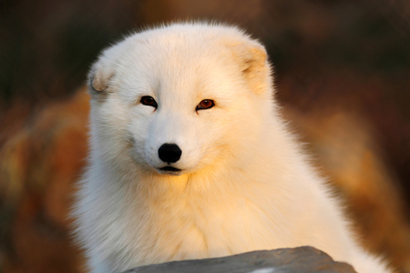 glowing-fox - dog, white, cute, animal, fox
