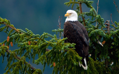 Majestic eagle - freedom, eagle, bird, pine, forest, animal