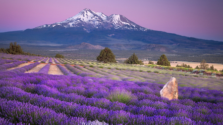 Purple Fields - flowers, purple, trees, purple sky, mountains, fields