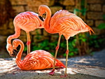 Flamingo trio