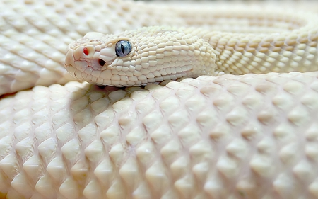 White Snake - snake, other, reptiles, animals