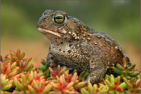 Tode Frog - Frogs & Animals Background Wallpapers on Desktop Nexus ...