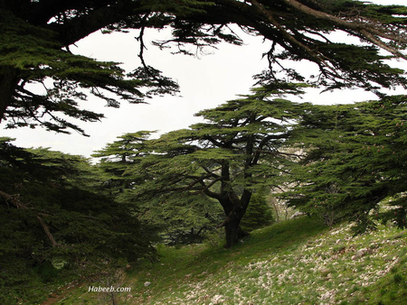 cedars of Lebanon - lebanon, trees, nature, mountains, cedar