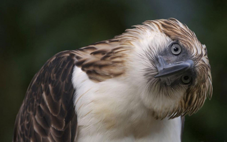 Philippine Eagle 2 - wallpaper, philippine, bird, eagle