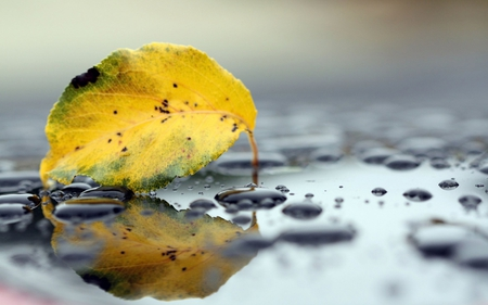 Fallen Leaf - leaf, drops, fall, autumn, yellow, water, photography, fallen, nature