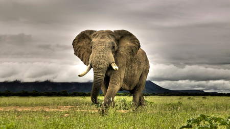 Elephant - grass, elephant, beautiful, animal