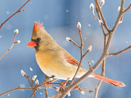 Winter Female Cardinal Photograph by Diane Giurco  Female Cardinal In Winter
