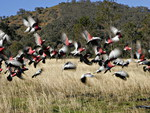 FLOCK OF GALAHS FLYING,