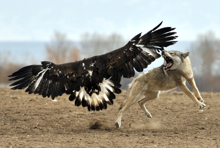Eagle vs Wolf - wallpaper, eagle vs wolf, animals, ficht, bold eagle