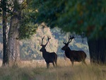 Red deer in the shade.