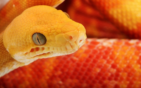 Orange Snake - snake, animals, reptile, orange, scales