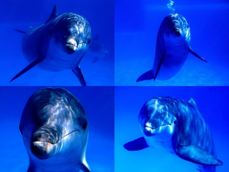 Dolphins looking at you - amazing, calming, reflection, blue, pretty, dolphins, harmony, water, nice, depths, smile, awesome, dream, picture, depth, gorgeous, other, collage, wildlife, sea, delicious, peaceful, ocean, dreamy, blue eyes, cool, dreams, animals, colored, beautiful, great, adorable, twilight, animal, beauty, dance, wild, colorful, color, wonderful, lovely, underwater, dolphin, photography, hot, nature, four
