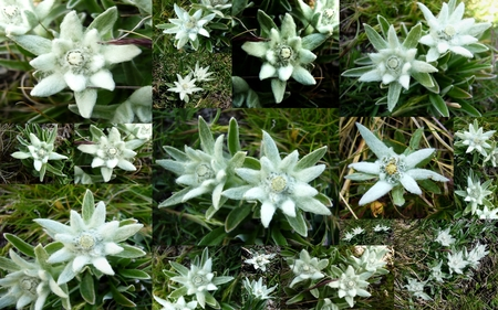 edelweiss of the alps  grass  nature background wallpapers on, Natural flower