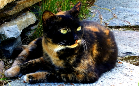 Calico - Ecaille de tortue - sweetheart, amazing, mysterious, pets, face, pretty, chat, mystic, whiskers, dark, nice, awesome, kittens, love, fantasy, holiday, green, other, cats, cute, merry christmas, cat face, christmas, calico, wide eyes, kitty, sweet, dreamy, holidays, cool, animals, colored, beautiful, emerald, adorable, animal, beauty, magic, pet, eyes, myst, gato, black, brown, lovely, photography, cat, kitten, chats, beautiful eyes, spirit