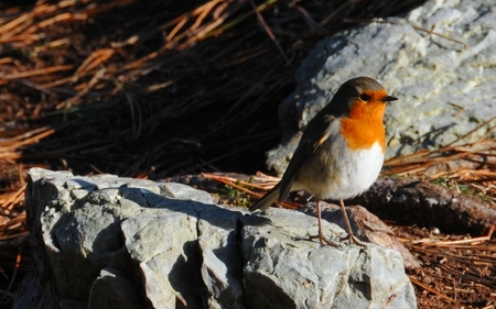 Robin in sunset - amazing, bretagne, rocks, sunrays, nice, france, flight, winged, picture, feathers, gorgeous, other, robin, birds, light, winter, cool, animals, beautiful, great, animal, beauty, sunset, wing, wild, wind, red, oiseau, fun, colors, photography, widescreen, bird, nature, feather, sun