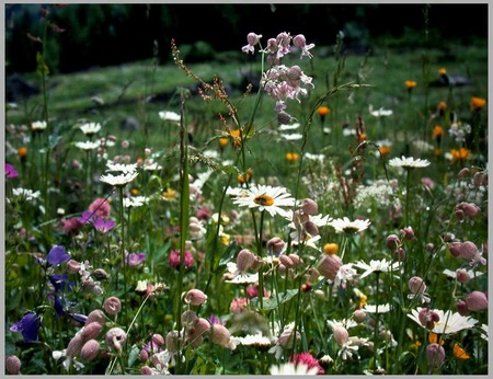 Summer Meadow - daisy, meadow, wild flowers, grass, flowers, daisies