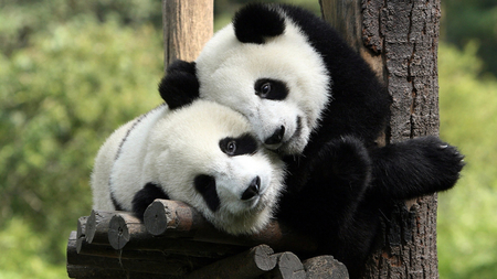 panda love - bear, photography, black, white, cute, panda
