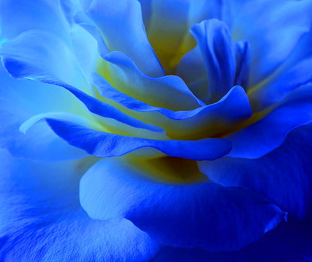 Blue rose - rose, flower, white, blue, macro, yellow