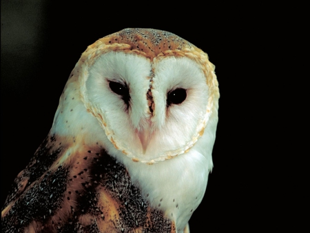Barn-Owl - cute, owl, barn, picture