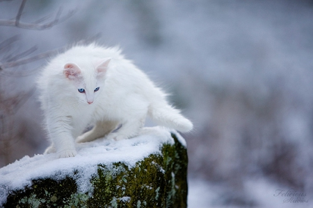 White Cats With Blue Eyes In Snow - 103.6KB