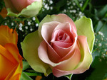 beautiful pastel rose
