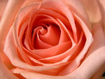A soft peach rose.