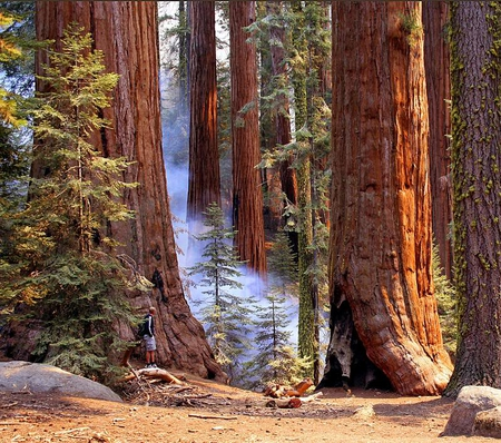 Sequoia Trees Forests Amp Nature Background Wallpapers On