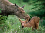 Mother moose with calf.